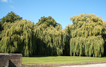 The ancient willow trees that overhang the water ways in the Memorial Gardens.
